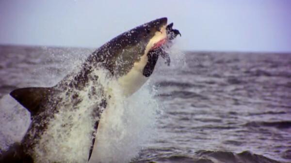 ホオジロザメの侵略 (字) ホオジロザメの侵略
