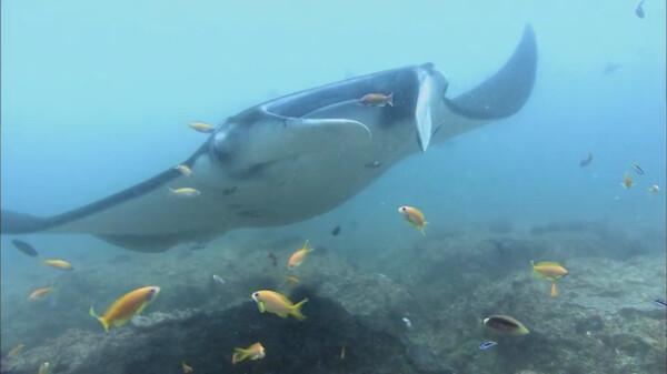 世界・七つの海の物語 ~神秘の生き物たち~ (吹) マンタとの出会い・インド洋